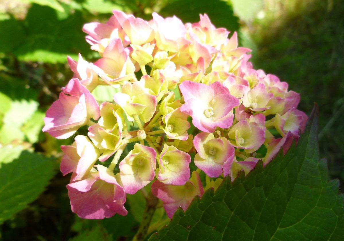 Bauernhortensie  (hydrangea macrophylla)