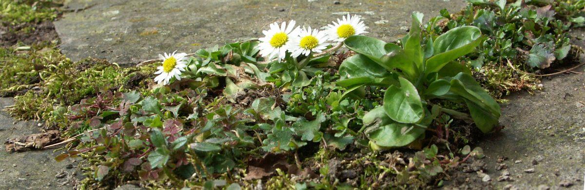 Pflanzen in Pflasterfugen