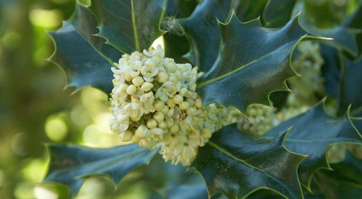 Gemeine Stechpalme (Ilex aquifolium)
