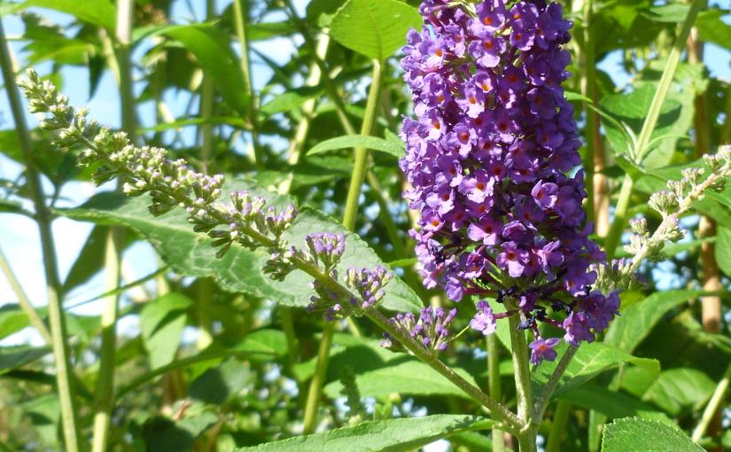 Schmetterlingsflieder (buddleja davidii)