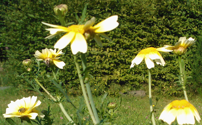 Speisechrysantheme (chrysanthemum coronaria, Shungiku)