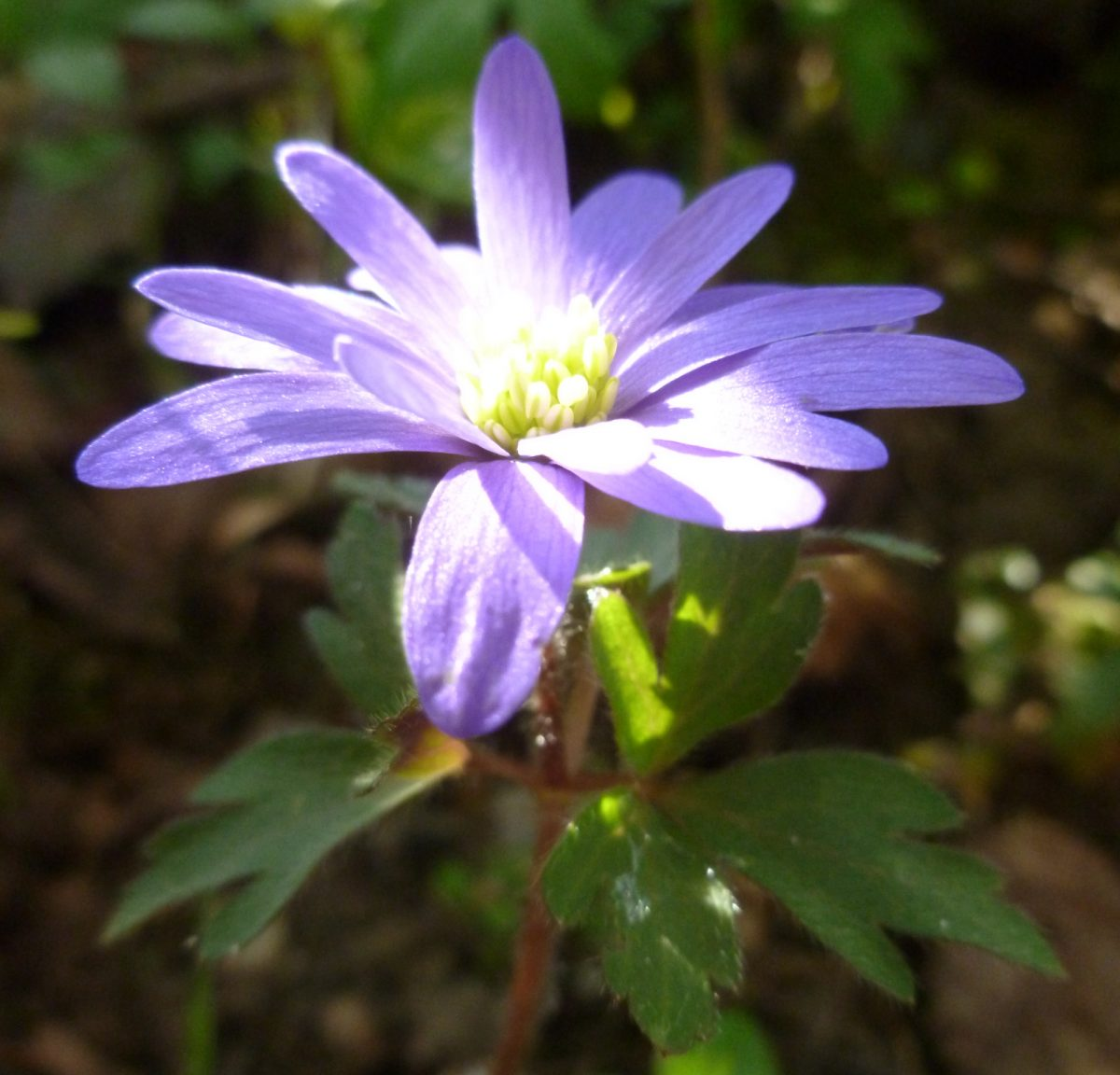 Strahlenanemone (anemone blanda)