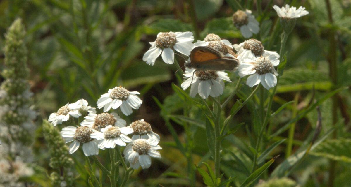 Sumpfschafgarbe (achillea ptarmica)